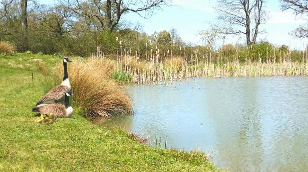 Swans at our Lakefield here on our family-run holiday park at Dorset Country Holidays Glamping